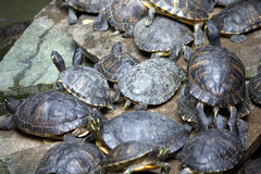 Turtles on a rock Stock Image