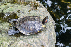 Turtles on the rock in the pond Royalty Free Stock Image