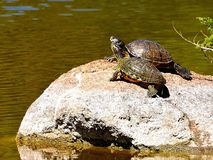 Turtles on Rock Royalty Free Stock Images