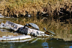 Turtles on rocks in water Royalty Free Stock Photos
