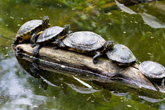 Turtles in a row Stock Photos
