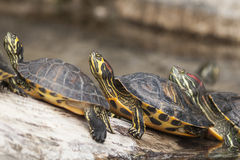 Turtles in a row. Cute Turtles in a row Royalty Free Stock Images
