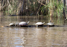 Turtles in a row Stock Photo