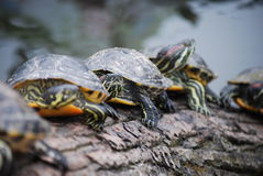 Turtles in a row Stock Images