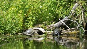 Turtles sit on a log in the river. Turtle relaxing on wooden log stock video footage