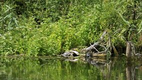 Turtles sit on a log in the river. Turtle relaxing on wooden log. Summer, Sunny day stock footage