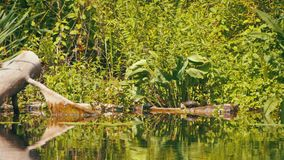 Turtles Sit on a Log in the River. Turtle relaxing on wooden log. Summer, Sunny day stock video footage