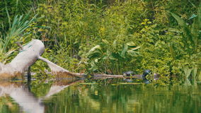 Turtles Sit on a Log in the River. Turtle relaxing on wooden log. Summer, Sunny day stock video