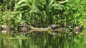 Turtles Sit on a Log in the River stock footage