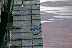 Turtles sitting on boat ramp Royalty Free Stock Images