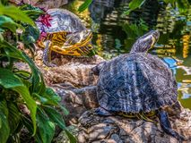 Turtles sitting on the stones. In sunny day royalty free stock images