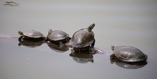 Turtles in spring Royalty Free Stock Images