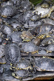 Turtles stacked Royalty Free Stock Photography