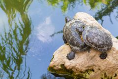 Turtles standing on a stone in the water royalty free stock photography