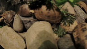 Turtles on a stone close-up. Turtles sitting on a stone close-up stock footage
