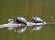 Turtles in the Sun. A photo of two turtles sunning themselves on a log Stock Photos