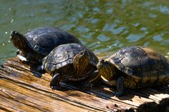 Turtles in the sun on the lake of the Botanical Garden in Rio de Janeiro Brazil stock images