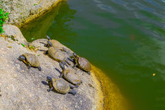Turtles in the sun Royalty Free Stock Photo