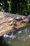 Turtles sunbathing Royalty Free Stock Images