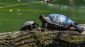 Turtles sunbathing on driftwood Royalty Free Stock Images