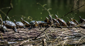 Turtles sunbathing on a driftwood Royalty Free Stock Image