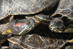 Turtles sunbathing. Group of turtles relaxing under the sun Royalty Free Stock Images