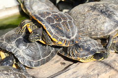 Turtles sunbathing. Group of turtles relaxing under the sun Stock Photos