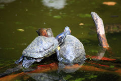 Turtles Sunbathing on a Log Royalty Free Stock Photos