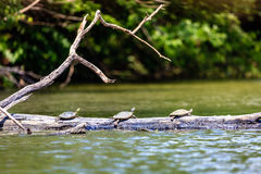 Turtles sunbathing. Three Common Map turtles taking sun batn on a log on a lake in Central Kentucky Stock Photo