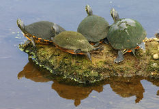 Turtles Sunning. Four turtles sitting in the sun Royalty Free Stock Image