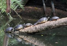 Turtles sunning on a fallen tree stock images