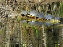 Turtles sunning on a laog Royalty Free Stock Photography