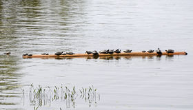 Turtles sunning on a log Stock Images