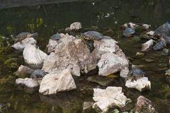 Turtles Sunning photo Stock Photography