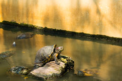 Turtles sunning at the pond Stock Photo