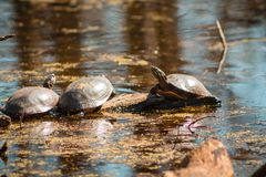Turtles sunning on a spring day in a pond stock photos