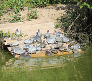 turtles sunning themselves on the pond in summer Stock Image