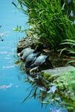Turtles at Swan Lake. Turtles sunning on rocks at Swan Lake and Iris Gardens in Sumter, SC Royalty Free Stock Images