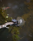 Turtles at Swan Lake. Turtles sunning on rocks at Swan Lake and Iris Gardens in Sumter, SC Royalty Free Stock Image