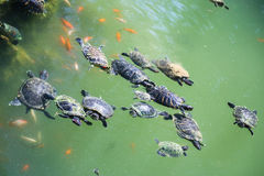 Turtles swim in the green water of a urban pond Stock Images