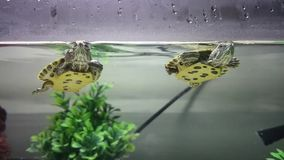 Turtles swimming in an aquarium. Video of two turtles swimming in an aquarium stock video footage