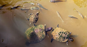Turtles swimming in a pond Stock Photo