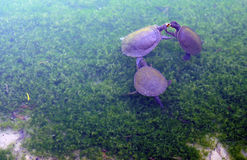 Turtles swimming in the shallows of the duck pond at Maggie Beer's Pheasant Farm. Royalty Free Stock Photography