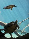 Turtles swimming in tank royalty free stock image