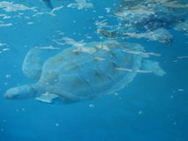 Turtles swimming underwater. In Cancun Royalty Free Stock Images