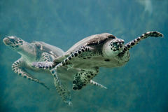 Turtles swimming in water Royalty Free Stock Images