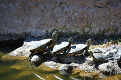 Turtles taking a sunbath Royalty Free Stock Photography
