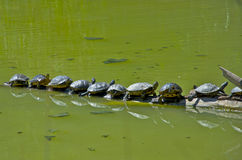 Turtles teamwork. Sequence of turtles sunbathing - Turtles teamwork Royalty Free Stock Image