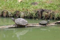 Turtles Stock Photography