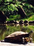 Turtles. In Tokyo pond Royalty Free Stock Photography